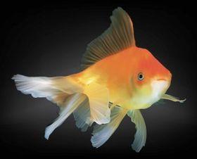 Goldfish creative vector