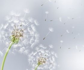 flowers dandelions Free shiny vector
