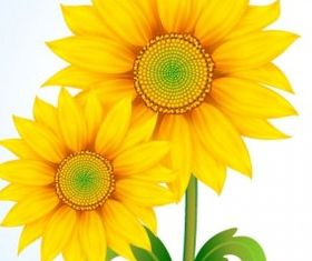 beautiful sun flower vector