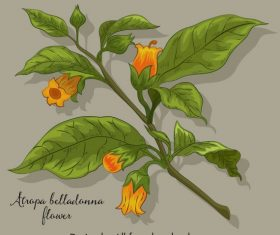 Belladonna flower blomming colored vector