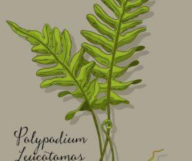Polypodium herb plant colored design vectors