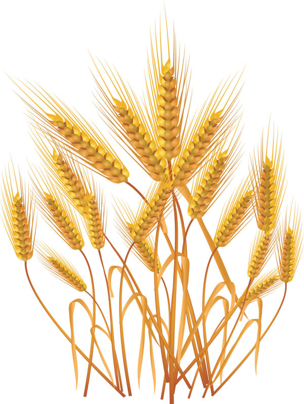 Free coloring pages of bundle of wheat