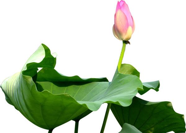 Lotus psd graphics
