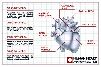 Human heart medical vector graphics 02