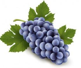 realistic purple grape free vector