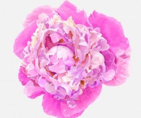 Beautiful peonies flower design vector 01