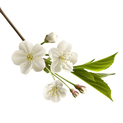 Beautiful cherry flowers design graphics