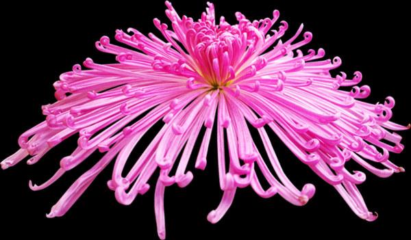 Realistic pink chrysanthemum psd graphics
