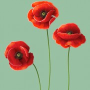 Link toRed poppy design vector graphics