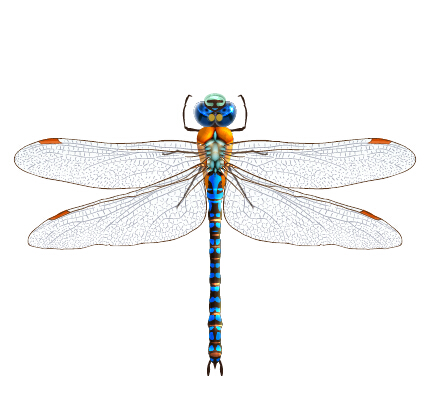 Dragonfly Vector Free Download