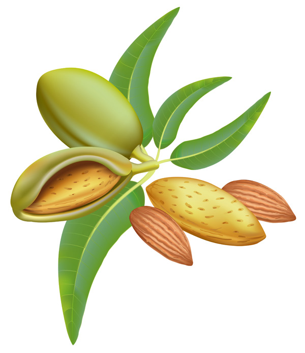 delicious almonds vector graphics 02 vector food free