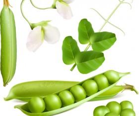Fresh peas vector graphics 01