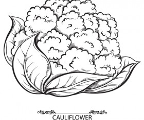 Hand drawn cauliflower vegetables vector material