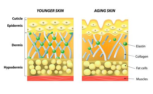 Skin structure diagram vectors material 01