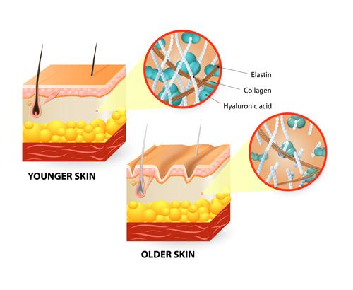 Skin structure diagram vectors material 03
