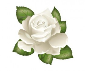 White rose with green leaves vector