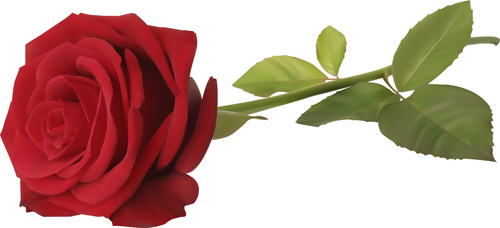 Red rose illustration vector 05