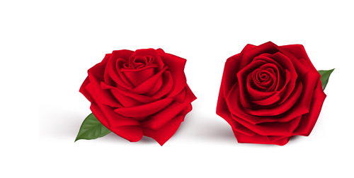 Fresh red rose vector - Vector Flower free download
