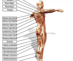 Vector human structure graphic set 01