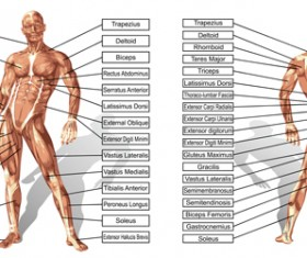 Vector human structure graphic set 02
