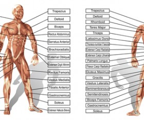Vector human structure graphic set 03