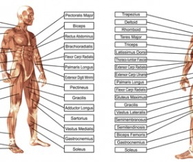 Vector human structure graphic set 04