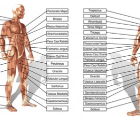 Vector human structure graphic set 05