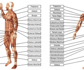 Vector human structure graphic set 06
