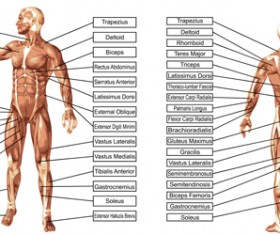 Vector human structure graphic set 07