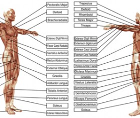 Vector human structure graphic set 08