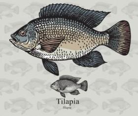Tilapia fish vector