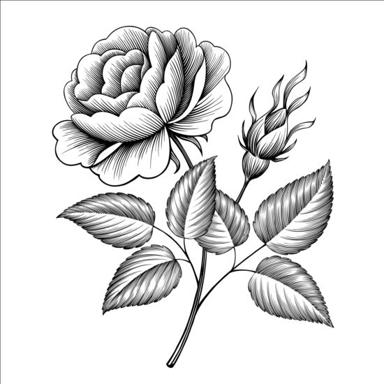 Vintage rose engraving template vector