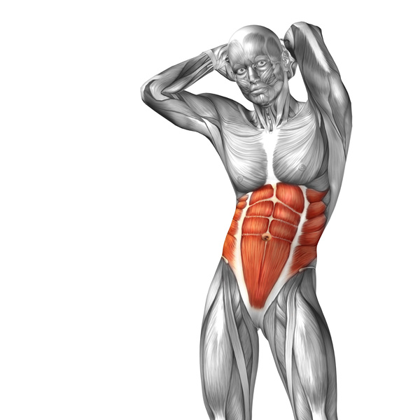 Abdominal muscles and external oblique schematic free download