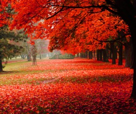 Autumn covered with red maple leaves on the ground