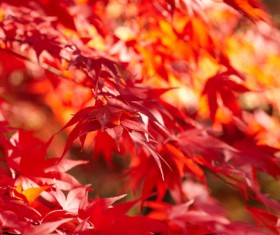 Autumn maple leaf with blurred background 01