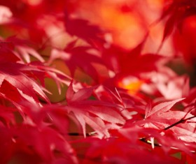 Autumn maple leaf with blurred background 02