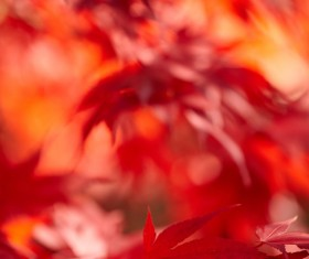 Autumn maple leaf with blurred background 03