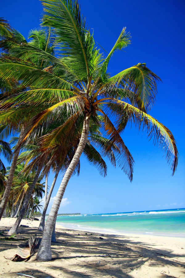 palm tree on caribbean beach with turquoise water