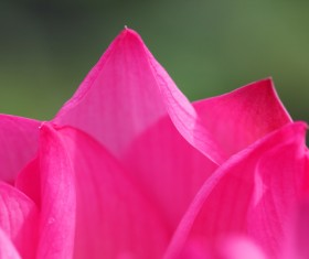 Blooming pink petals