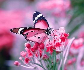 Butterfly drinking nectar on pink flowers HD picture