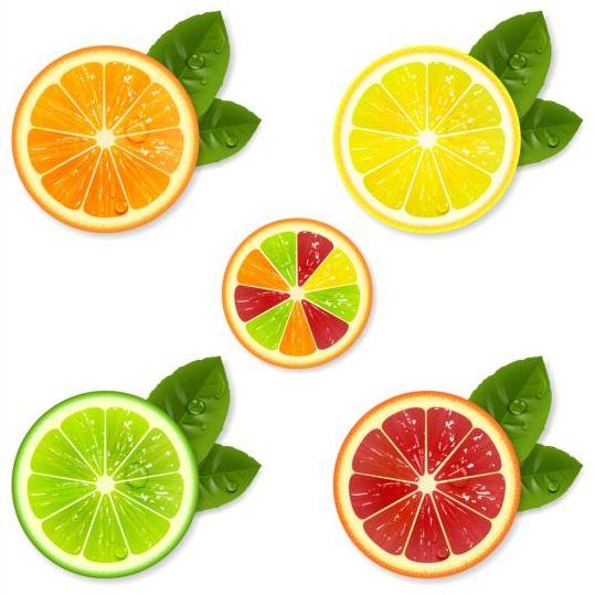 Citrus fruit illustration vector material