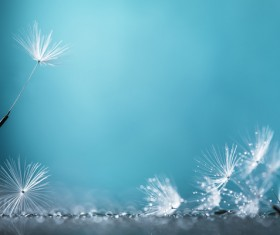 Close-up of a dandelion on a blue background