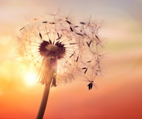 Dandelion Seeds and Sunset background