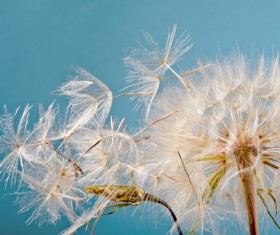 Dandelion against the backdrop of a blue background