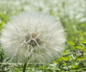 Dandelion filled seeds close-up