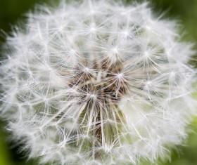 Dandelion fluff closeup and green background