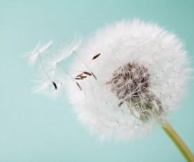 Dandelion fluffy close-up serene art background