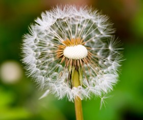 Dandelion seed on a green background