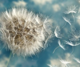 Dandelion seeds scattered with the wind