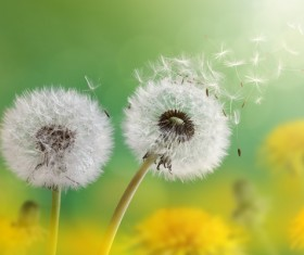 Dandelion with seeds blowing away in the wind across